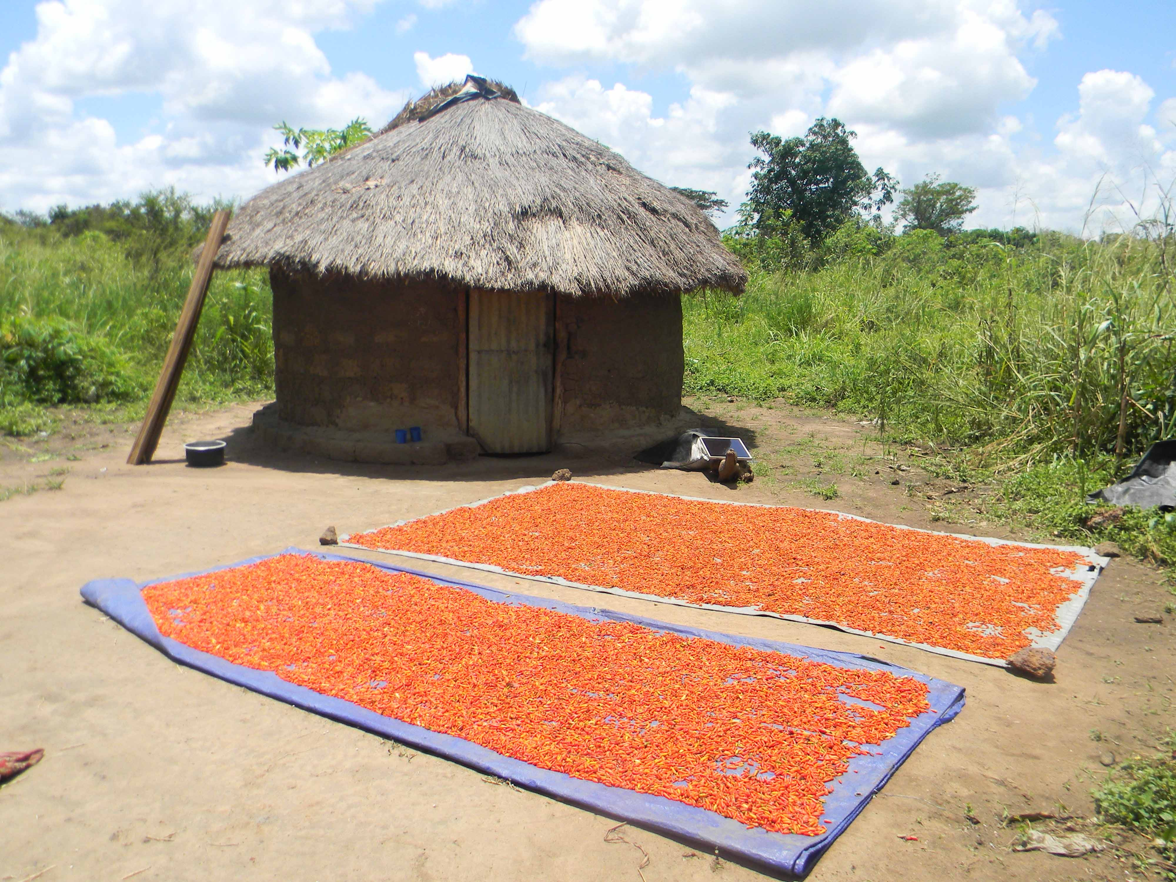 Chillies drying in the Ugandan sun