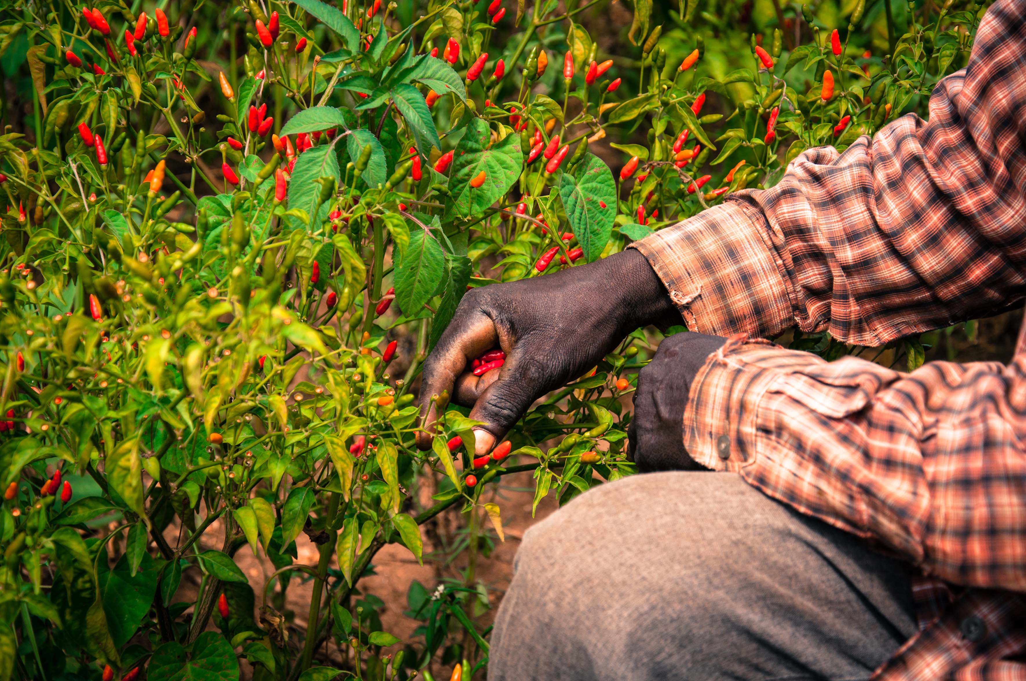 A man picking chillies in Uganda