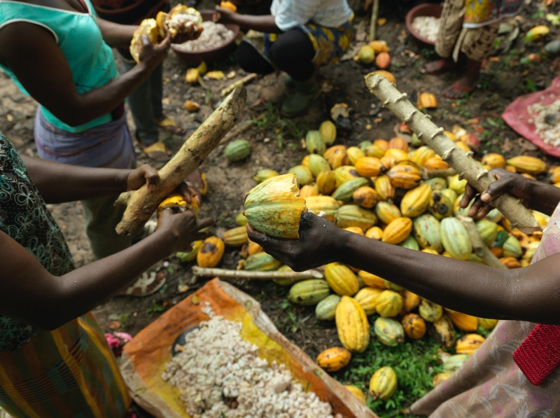 Cocoa farm Ivory Coast